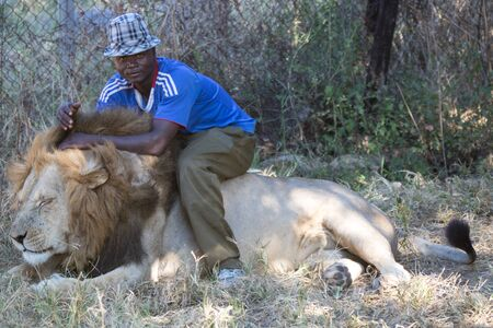 iene: Harare, Zimbabwe - April 28, 2013: Lion in the Lion and Chitaah Park in Harare in Zimbabwe, Africa, where animals such as lions, zebras, giraffes, antelopes and hyenas are living. Editoriali