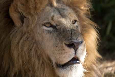 iene: Harare, Zimbabwe - 28 aprile 2013: Lion in the Lion e Chitaah Park a Harare in Zimbabwe, in Africa, dove gli animali come leoni, zebre, giraffe, antilopi e iene vivono. Archivio Fotografico