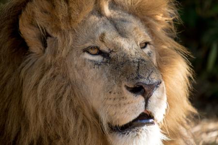 hienas: Harare, Zimbabwe - 28 de abril de 2013: Le�n en Le�n y Chitaah Park en Harare, en Zimbabwe, �frica, donde los animales como leones, cebras, jirafas, ant�lopes y hienas est�n viviendo.