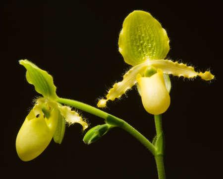 slipper: Yellow Slipper Orchids