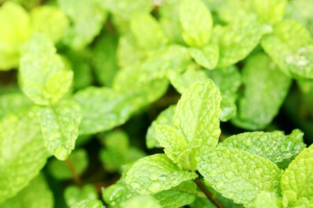 close up of wet morning dew on bright green mint leaves. herbs herbal healthy cooking ingredient recipe. Banco de Imagens