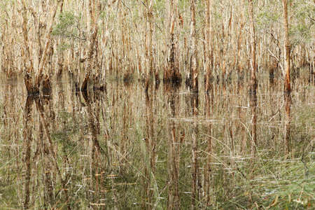 landscape view of a stand of paper bark trees in a wetalnd lake area in flood. Bark and reeds reflecting in complex patterns and textures. Abstract pattern of reflections refelcted highly textured trees in water. Banque d'images