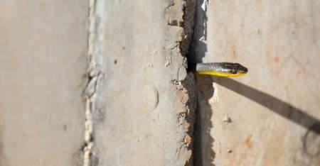 A sneaky little wild green tree snake head poking out between the crack or join in a concrete slab. Spring time snakes on the move. Banco de Imagens
