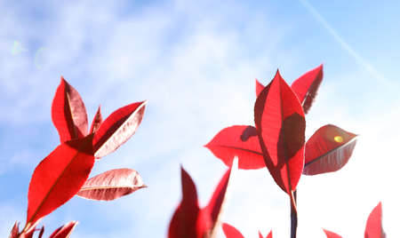 Beautiful closeup of stunning delicate elegant crisp red new growth photinia tree leaves with backlit sunlight streaming through the leafy foreground.