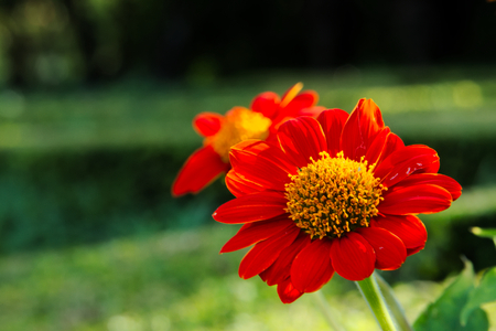Beautiful deep orange daisy flowers with yellow center, in a park in Bangkok, Thailand.