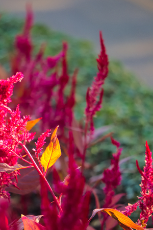 Stunningly beautiful red flowered shrubs with glowing orange leaf, in a park in Bangkok, Thailand. Stock Photo