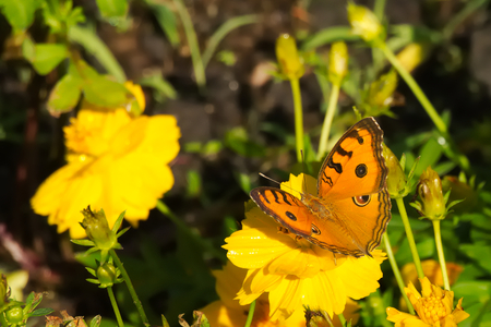 A beautiful orange and black Thai butterfly atop a stunning group of yellow flowers, in a garden park in Bangkok, Thailand. Stock Photo