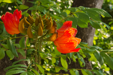 Beautifully bright, large orange tree blossoms and adjoining green bud-lings, sighted in a parking zone of a large university in Bangkok, Thailand. Stock Photo