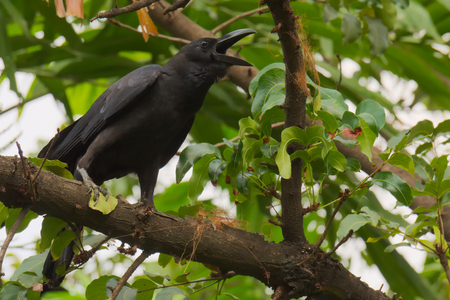 A black crow, crowing loudly from the tree tops, to those in ear-shot, in a lush garden park in Bangkok, Thailand. Stock Photo