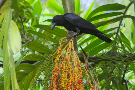 A black crow, perched above a cluster of bright palm fruits, deciding upon its next meal selection, in a lush garden park in Bangkok, Thailand. Stock Photo