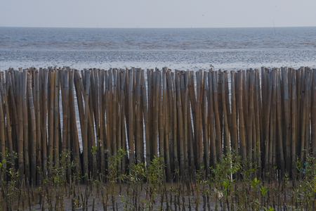 An estuary project to reclaim mangrove growth, by blocking off areas, to protect them from the tides, with bamboo fences, and planting mangrove plant species inland from the fences, near Bangkok, Thailand. Zdjęcie Seryjne