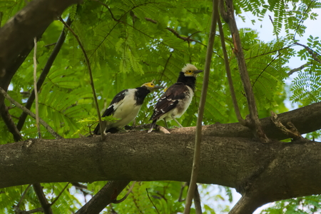 Two lovely white and yellow headed Thai birds, perched high up on a thick tree branch, searching an Asian park horizon with their eyes for food or threats. Banque d'images