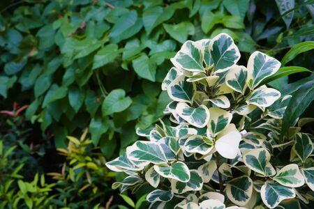 An unusual, white and green leaf bush or shrub, set in a lush tropical garden park, in Bangkok, Thailand.
