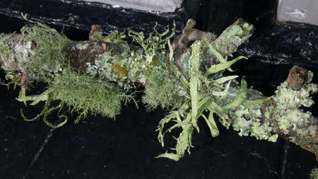 liquen: Giant Lichen on Branch