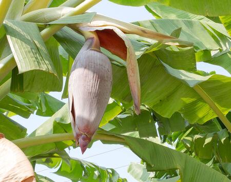 Banana blossom in the garden  photo