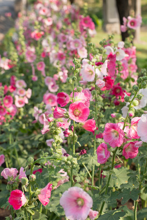 Pink mallow in Blurred Background, Hollyhock, Alcea rosea, Closeup photo