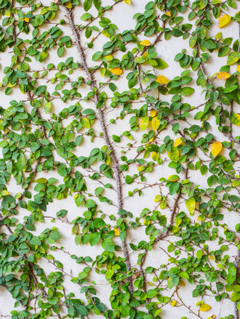 ivy wall: ivy leaves  on wall cement white