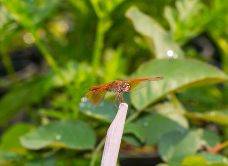 odonata: dragonfly perched on dry wood Stock Photo