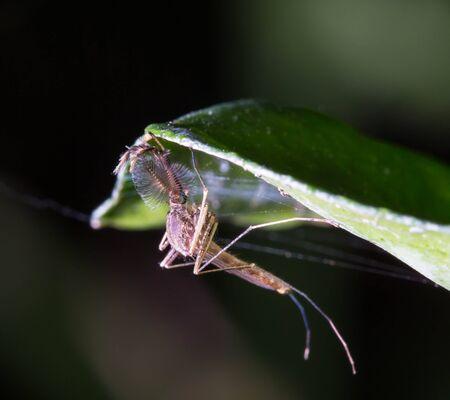 microscopical: Common house mosquito (Culex pipiens) male Stock Photo