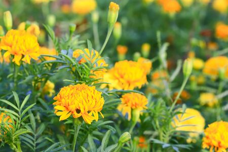 pungent: The yellow flowers are fragrant and pungent,Marigold flower in Thailand