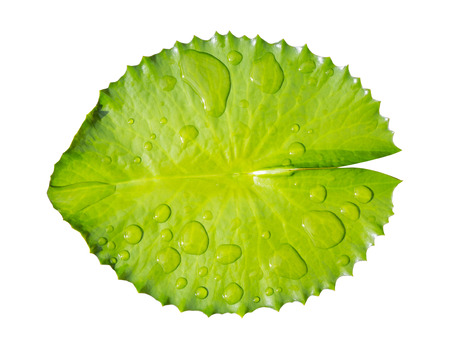 water on leaf: green leaf water lily and water on leaf isolated on a white background
