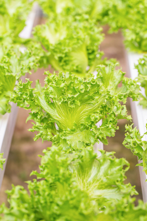 hydroponic: Chemical-free Hydroponic vegetables in farm,Thailand.