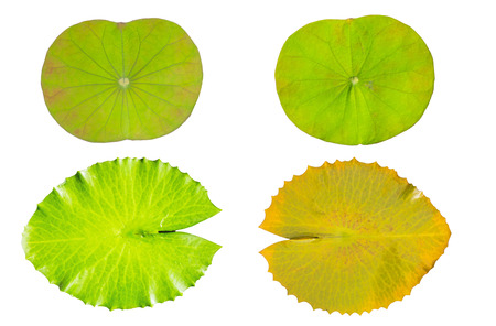 water on leaf: water lily green leaf  isolated on a white background Stock Photo