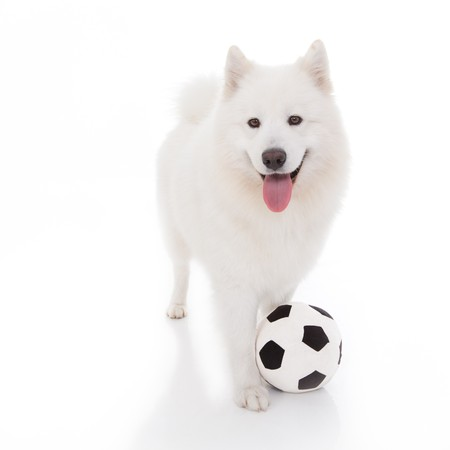 a studio image of a pure white breed dog, standing, looking forward, with a football at its feet photo