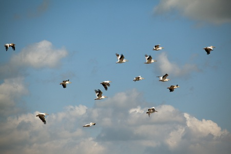 pelicans flying over the romanian danube delta landscape photo