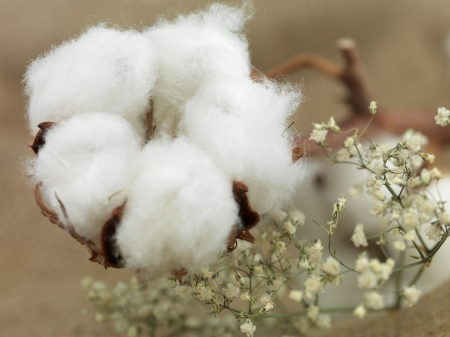 cotton plant: cotton flower on background of canvas bag with small white flowers near Stock Photo