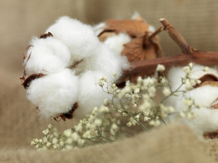 boll: cotton flower on background of canvas bag with small white flowers near Stock Photo