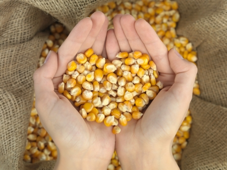 hands that hold corn in heart shape over a canvas bag photo