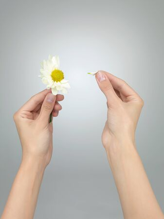 female hands puling petals from a daisy on grey gradient background Stock Photo - 17853184