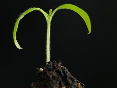 Close up of a small plant with two leaves that grows from the earth on a dark background photo