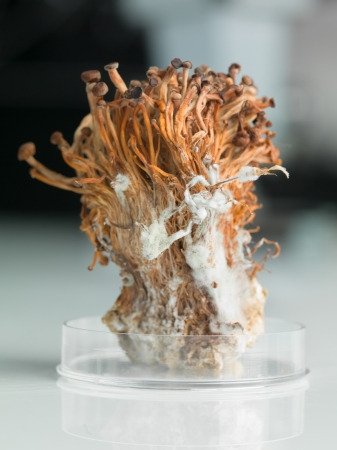 coneptual image of petri dish containing a sheaf of frozen enoki mushrooms photo