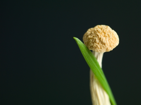 interdependence: Close up of a blade of green grass coiled up on a mushroom on the right side of a dark background