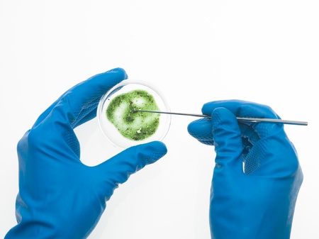 aerial view of two hands in blue rubber gloves, one holding a green mold specimen in a petri dish and the other retrieving a sample of it with a tool