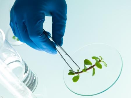 plants species: mano in un guanto di gomma blu analizzando una piccola pianta con una pinzetta in laboratorio