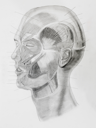 hand drawn pencil illustratin, side view of human head with directive lines pointing at muscle parts, on white paper Stock Photo - 23653499