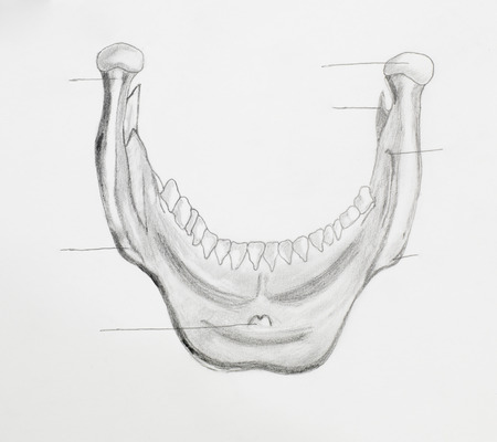 Detail of mandible pencil drawing on white paper Stock Photo - 23653503