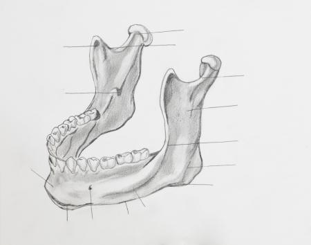 molares: Detalle de la mand�bula dibujo a l�piz sobre papel blanco
