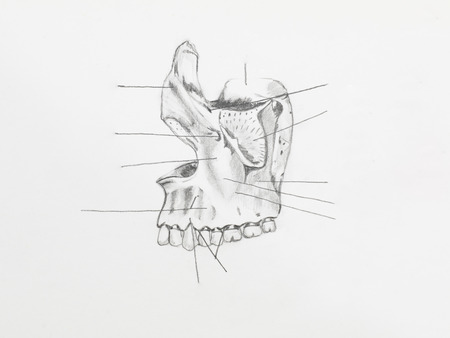 maxillary: Detail of maxilary pencil drawing on white paper Stock Photo