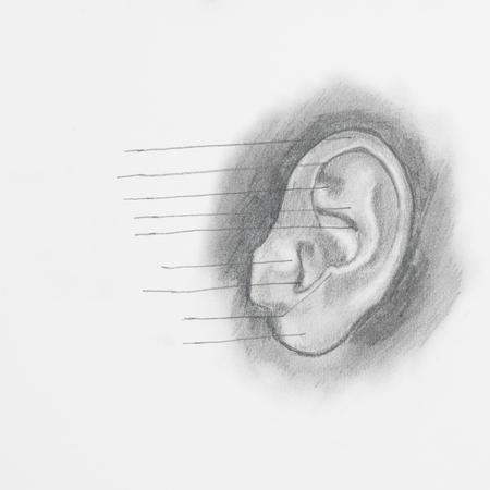 tympanic: Detalle de la oreja dibujo a l�piz sobre papel blanco