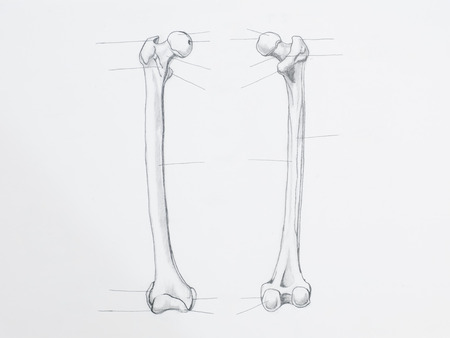 tight body: Detail of femur bone pencil drawing on white paper