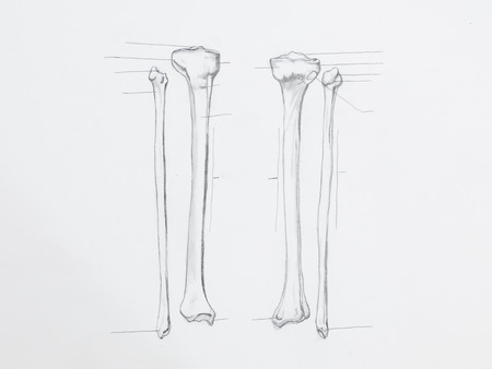 Detail of tibula fibula bones pencil drawing on white paper Stock Photo - 23653515