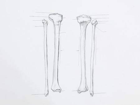 Detail of tibula fibula bones pencil drawing on white paper Stock Photo - 23653515