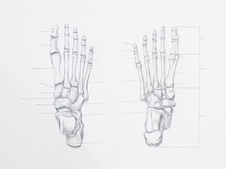 Detail of foot bones pencil drawing on white paper