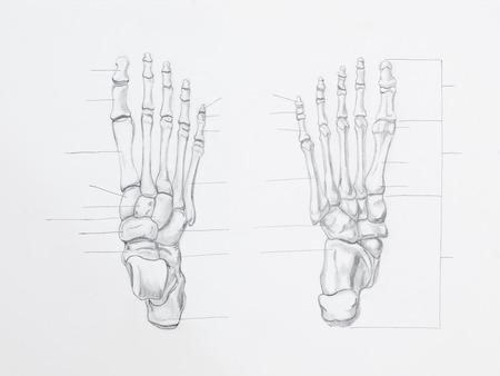 talus: Detalle de los huesos del pie dibujo a l�piz sobre papel blanco