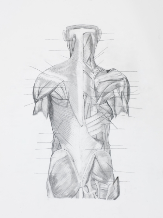 tendons: Detail of back hunam muscles pencil drawing on white paper