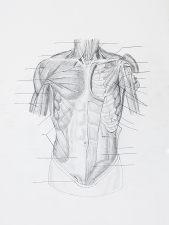 Detail of front human muscles pencil drawing on white paper photo